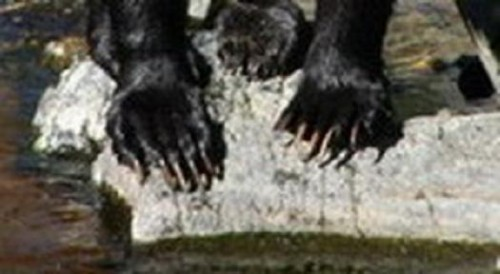 large male grizzly claws