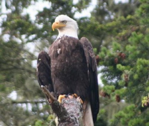 bald eagle at viewing stands