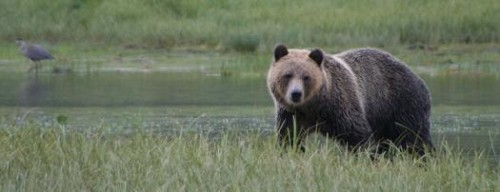 eye to eye grizzly bear