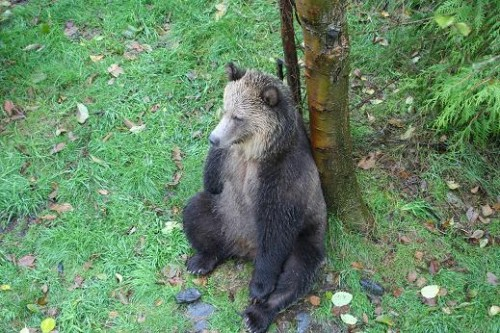 grizzly with tree backrest