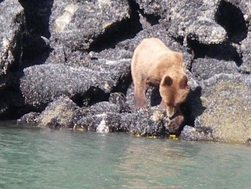 Grizzly Bear eating barnacles
