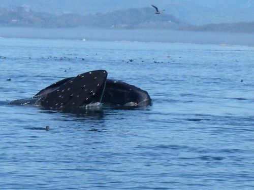 Excellent lunge by Humpback whale