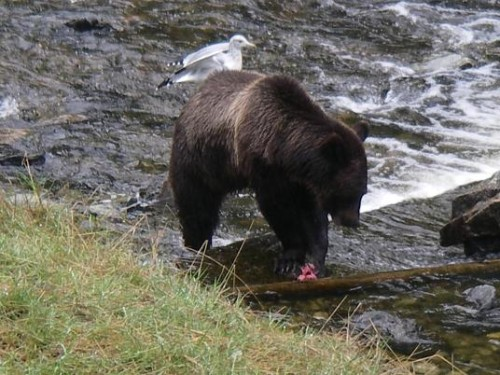 Grizzly eating a salmon