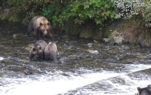 grizzly bears share fishing