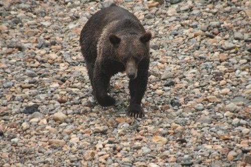 large male grizzly on the river