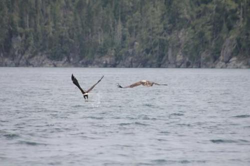 immature bald eagle fishing