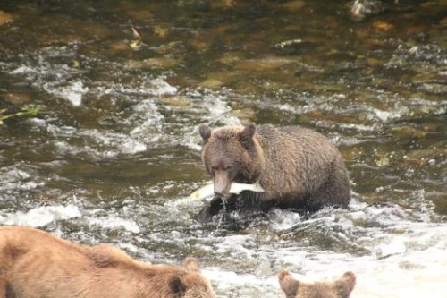 Knight Inlet grizzly first salmon