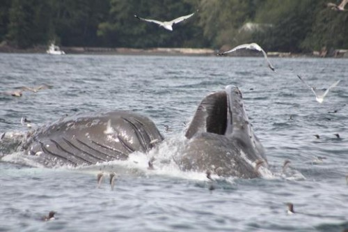 Humpback lunge feeding mouth Knight Inlet