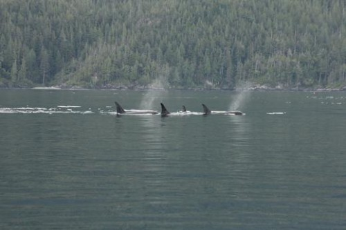 killer whales in Johnston Strait