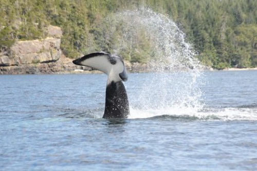 killer whales tail slapping