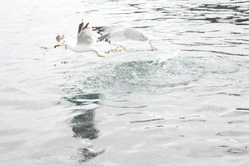 seagulls fight over herring