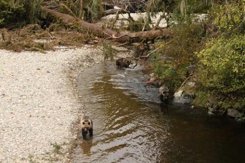 grizzlies walking river