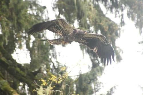 immature bald eagle soars