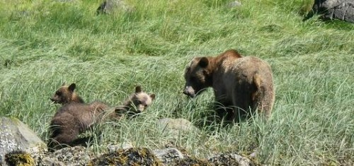 grizzly cubs grazing