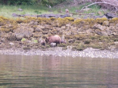 watching grizzly bears rolling rocks