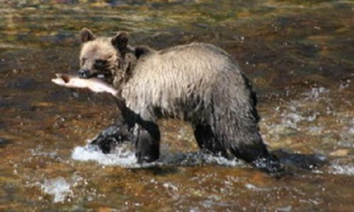 grizzly catches salmon