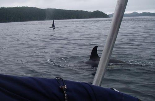 watching killer whales visit