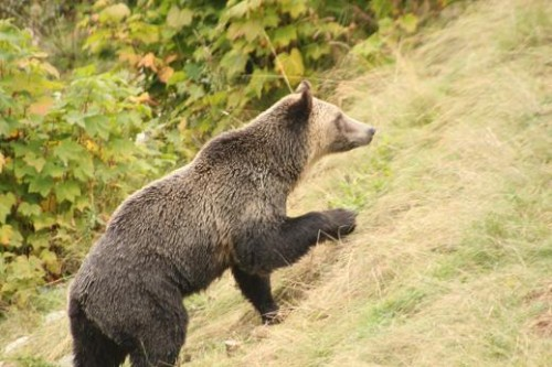 grizzly bears coming to feed