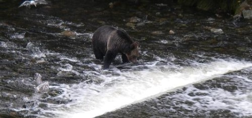 watching grizzlies watch salmon