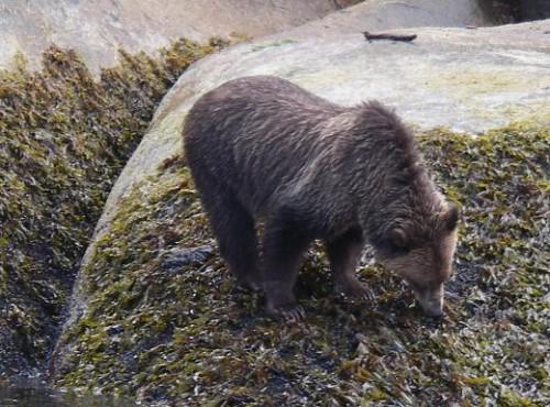 watching bears eating seaweed