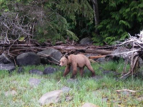 grizzly bear bc coast