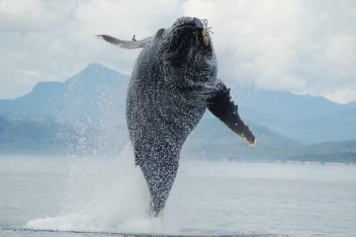 breaching humpback whale BC