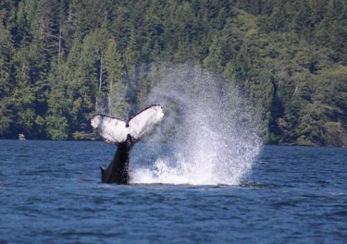 Lobtailing whales