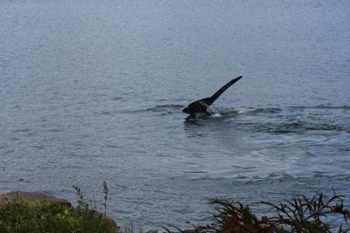 humpback cloe to shore Knight Inlet