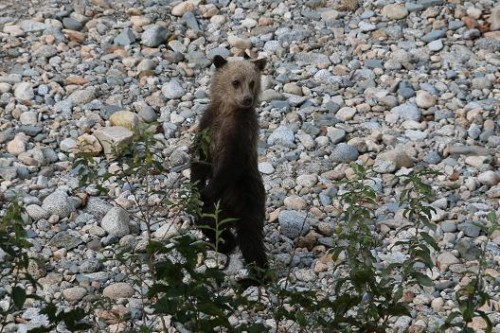 grizzly bear cub knight inlet