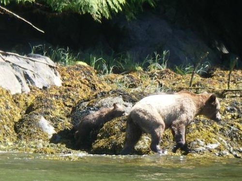 beach grizzly and cub
