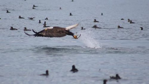 eagle catching herring