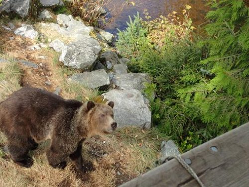 grizzly under viewing platform