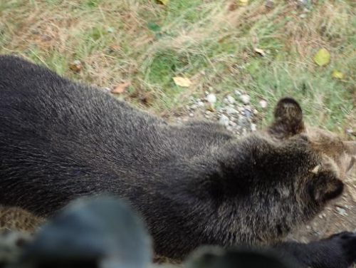 grizzly beneath  platform