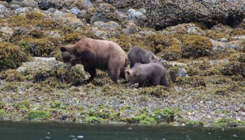 Knight Inlet Grizzly bear cubs
