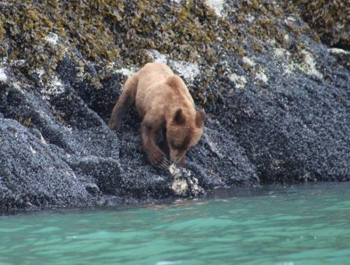 grizzly eating mussels