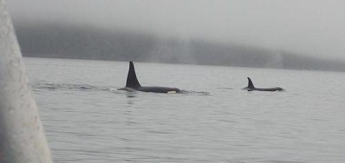 close killer whales