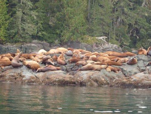 sea lion haulout