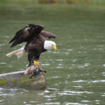 eagle with duck